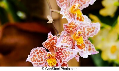 Orange orchids in the garden. The camera moves back on the...
