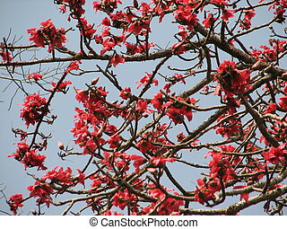 Blossom of the Red Silk Cotton Tree - The Latin name is...
