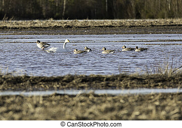 Whooper Swans in Water