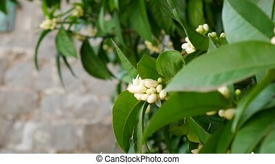 Blooming tree Tangerine. Montenegrin mandarin trees. Home...