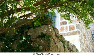 Stones overgrown with ivy. Texture wild plants in the...