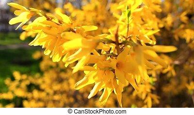Yellow flower Forsythia - Beautiful, yellow flower Forsythia...