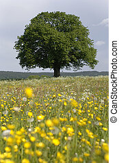 single lime tree in meadow at springtime