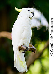 White cockatoo parrot - Closeup of a beautiful white...