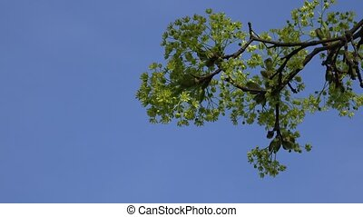 Closeup of blooming branch of maple tree against blue sky....