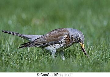 Fieldfare (Turdus pilaris) - Fieldfare standing in grass...