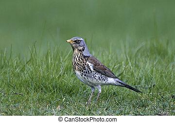 Fieldfare (Turdus pilaris) - Fieldfare standing in grass in...