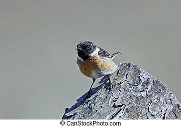 European stonechat (Saxicola rubicola) - European stonechat...