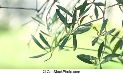 Olive branch with leaves close-up. Olive groves and gardens