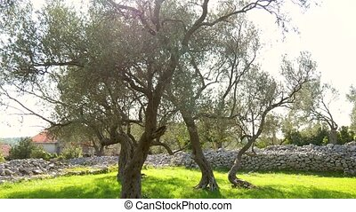 Olive Tree. Olive groves and gardens in Montenegro.