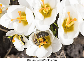 A bee collects nectar on crocus