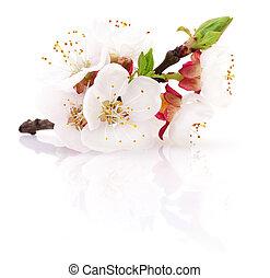 Apricot blossom isolated. - Apricot blossom isolated on a...