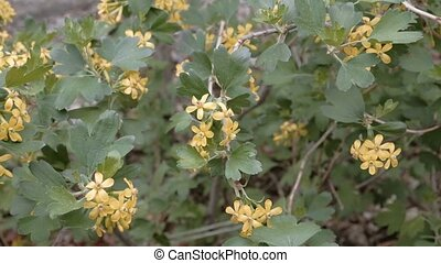 Bush with small yellow flowers blooming in springtime...