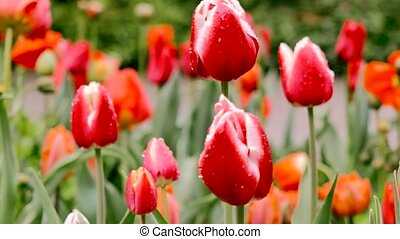 Red tulip on a background of tulips. The camera moves back on the slider. Color correction.