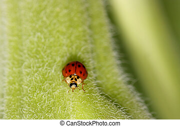 Lady bug - Tiny red lady bug on Okra plant stem