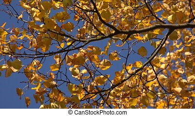 Yellow birch leaves against the blue sky. 4K.