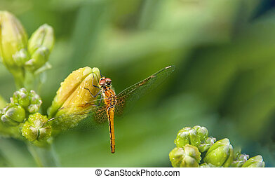 Dragonfly sitting on the flower buds of daylilies on blurred...