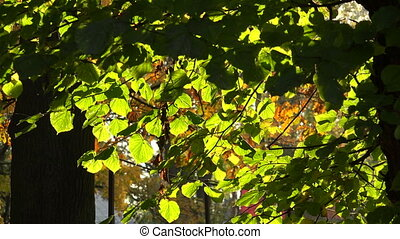 Linden green leaves. 4K.