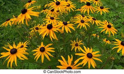 Echinacea. Yellow daisy. 4K. - Echinacea. Yellow daisy. Shot...