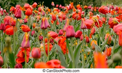 Red, yellow tulips field, green grass lawn, tulips flowers...