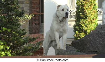 White guard dog. Shot in 4K (ultra-high definition (UHD)),...