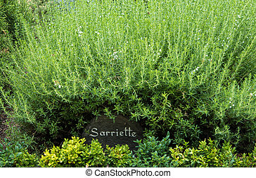 Closeup of a labelled savory bush in a French garden