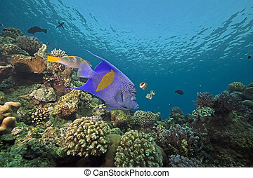 yellowbar angelfish and ocean - yellowbar angelfish and...