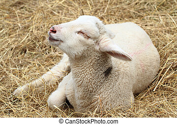 small lamb is resting in the hay