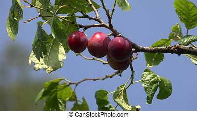 Ripe plums on a tree branch. Shot in 4K (ultra-high...