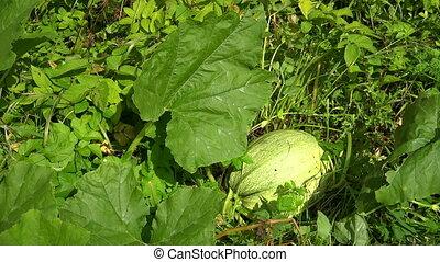 Pumpkin in the leaves in the garden. 4K. - Pumpkin in the...