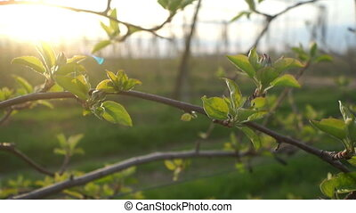 Apple tree plants summer