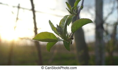 Apple tree plants summer - Apple tree on a background of the...