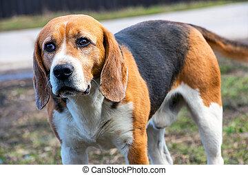 Dog's eyes Beagle