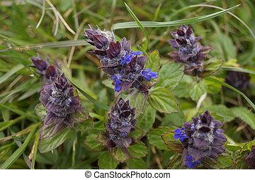 Medicinal plants - Blue bugle (Ajuga reptans)
