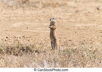 Cape ground squirrel standing, South Africa - Cape ground...