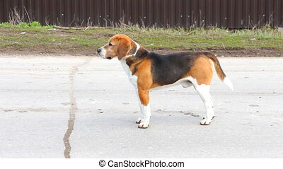 Dog of the Beagle breed looks at the camera and waves his...