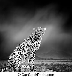 Black and white image of a cheetah - Dramatic black and...