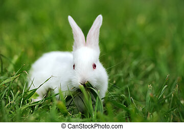 Baby white rabbits in grass - Baby white rabbit in spring...