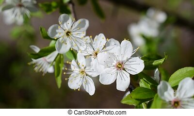 Close-up of cherry blossom on blurred background - Close-up...
