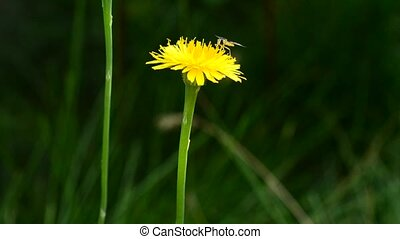 Fly on yellow dandelion flower on blurry background in...
