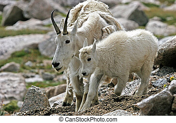 Mother and baby mountain goat (Oreamnos americanus) - A...