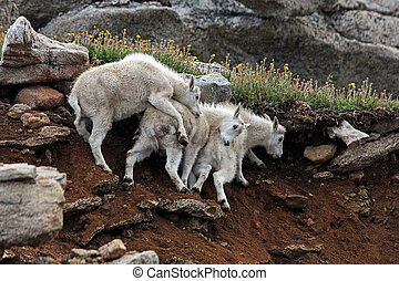 Mountain Goats on Mt. Evans near Denver, Colorado