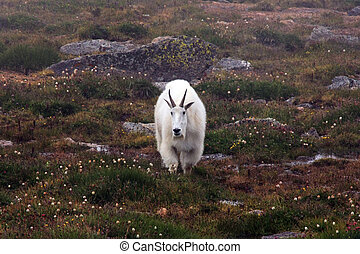 Mountain Goats on Mt. Evans near Denver, Colorado
