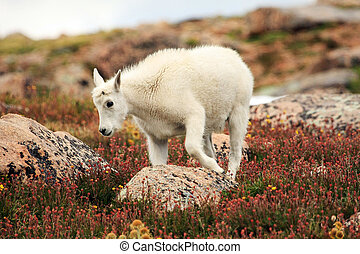 Baby Mountain Goat on Mt. Evans near Denver, Colorado