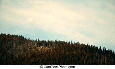 White cumulus clouds move fast over fir trees in mountains...