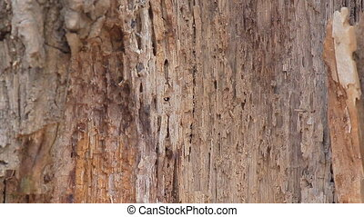 The Old Rotten Tree - The old tree trunk damaged by insects...