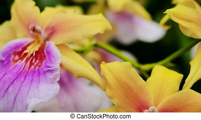 Violet-yellow orchids. The camera moves back on the slider....