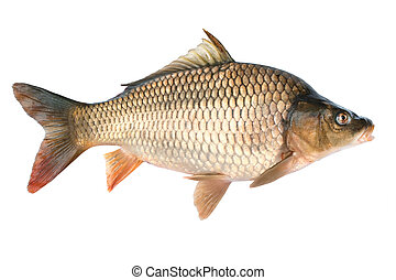 Common carp. Cyprinus carpio. Isolated on white