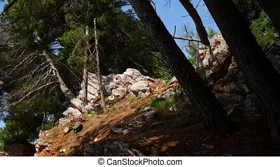 Pine forest in Montenegro, in the park Milocer, Sveti...