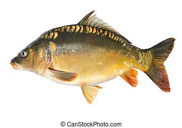 Common carp Cyprinus carpio Isolated on white
